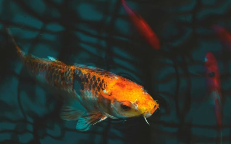 Keeping Your Fish Healthy in Aquaponics