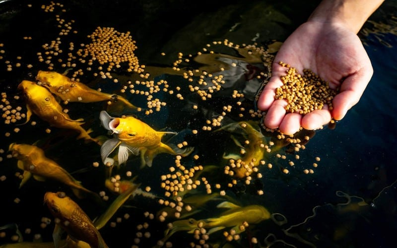 Best Fish Food to Use in Aquaponics