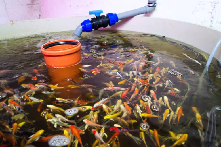 Fish Tank in Aquaponics