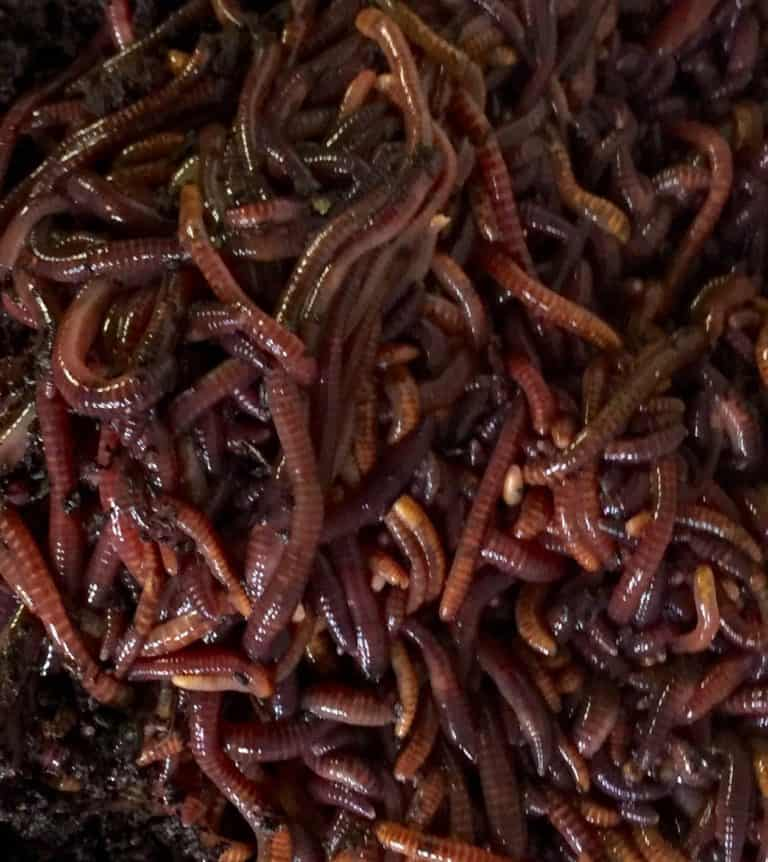 Aquaponics Red Compost Worms